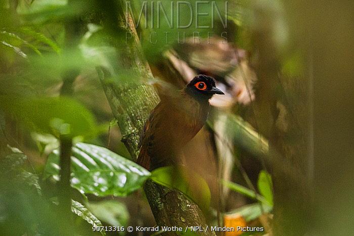Black-spotted bare-eye (Phlegopsis nigromaculata) Panguana Reserve, Huanuco province, Amazon basin, Peru.