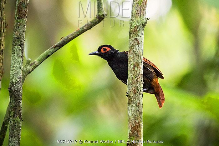 Black-spotted bare-eye (Phlegopsis nigromaculata) perched,  Panguana Reserve, Huanuco province, Amazon basin, Peru.