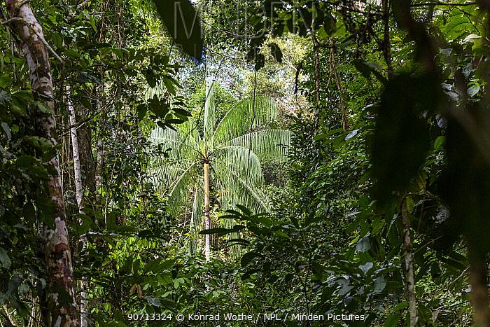 View through lowland rain forest to palm tree, Panguana Reserve, Huanuco province, Amazon basin, Peru.