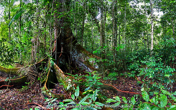 Rainforest tree with buttress roots, in lowland rainforest, Panguana Reserve, Huanuco province, Amazon basin, Peru.