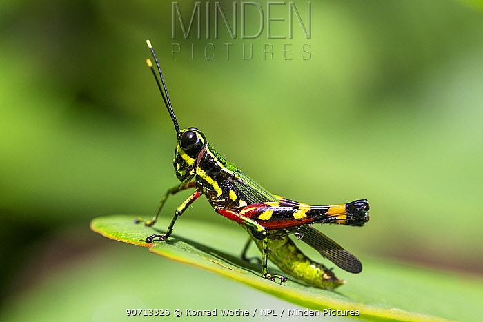 Grasshopper (Tetrataenia surinama) on leaf, Panguana Reserve, Huanuca province, Amazon basin, Peru.