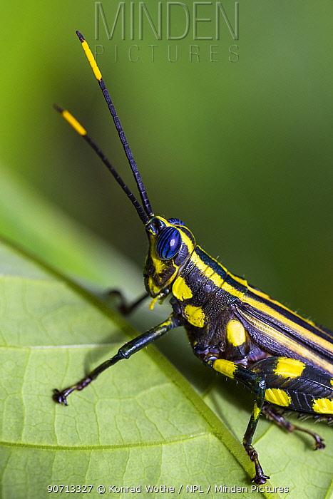 Brightly coloured cricket (Rhopsotettix consummatus) in rainforest, Panguana Reserve, Huanuca province, Amazon basin, Peru.