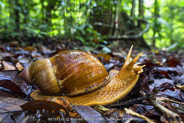 Giant land snail (Megalobulimus sp), Panguana Reserve, Huanuco province, Amazon basin, Peru.