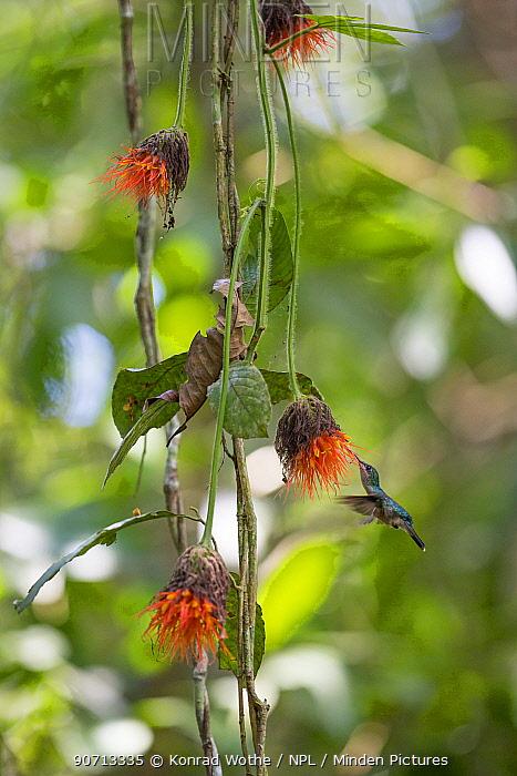 Grey-breasted sabrewing (Campylopterus largipennis) feeding on rainforest flowers, Panguana Reserve, Huanuca province, Amazon basin, Peru.