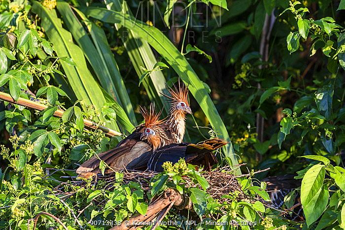 Hoatzins (Opisthocomus hoazin)  on nest, rainforest, Panguana Reserve, Peru.