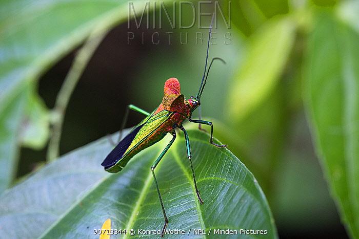 Bug (Sundarus sp). Panguana Reserve, Huanuco province, Amazon basin, Peru.