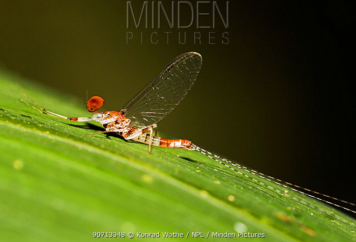 Mayfly (Ephemoptera) in rainforest, Panguana Reserve, Huanuca province, Amazon basin, Peru.