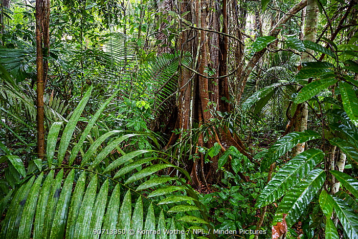 Rainforest tree with buttress roots, during rainfall, Lowland rainforest, Panguana Reserve, Huanuco province, Amazon basin, Peru.