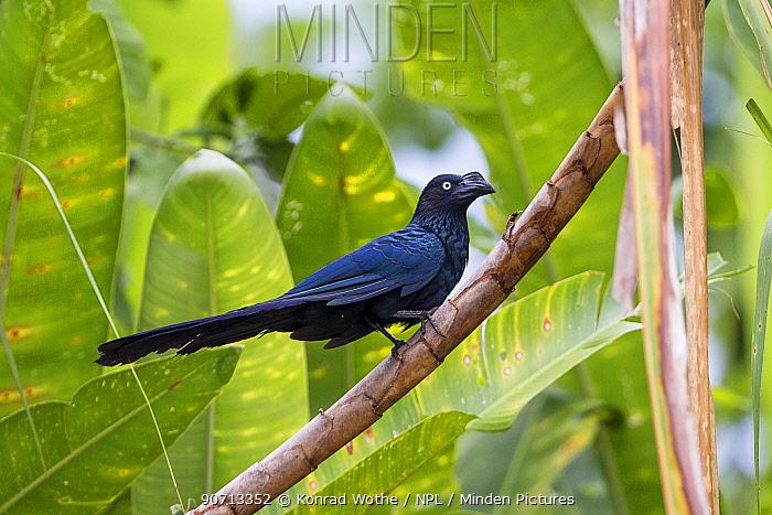 Greater ani (Crotophaga major) perched. Panguana Reserve, Huanuco province, Amazon basin, Peru.