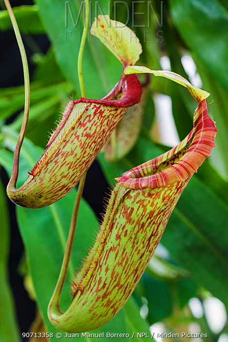 Pitcher plant (Nepenthes miranda) pitchers, cultivated plant.