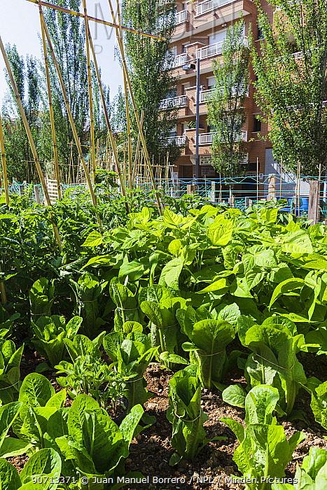 Urban vegetable garden in Barcelona, Catalonia, Spain, May 2013.