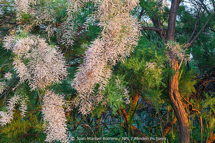 Tamarisk tree (Tamarix boveana) flower, Sebes Natural Reserve,  Tarragona. Catalonia. Spain, May.