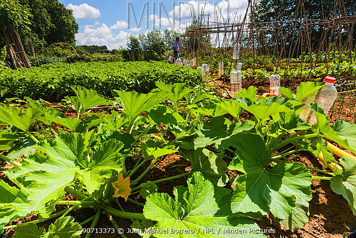 Organic vegetable patch with Squash (Cucurbita) in flower, Gallecs Area of Natural Interest, Barcelona, Catalonia, Spain, May.