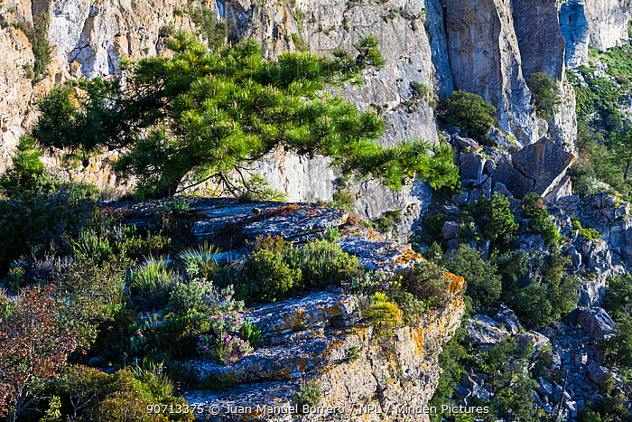 European black pine tree (Pinus nigra) growing on cliffs, Pradell-La Argentera Mountain Range Area of Natural Interest, Tarragona, Catalonia, Spain, May 2013.