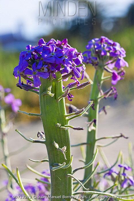 Sea stock (Matthiola sinuata) flower, Gaia River Area of Natural Interest, Tarragona, Catalonia, Spain. May.