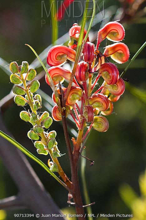 Johnson's grevillea (Grevillea johnsonii) flowers, cultivated plant occurs in Australia.