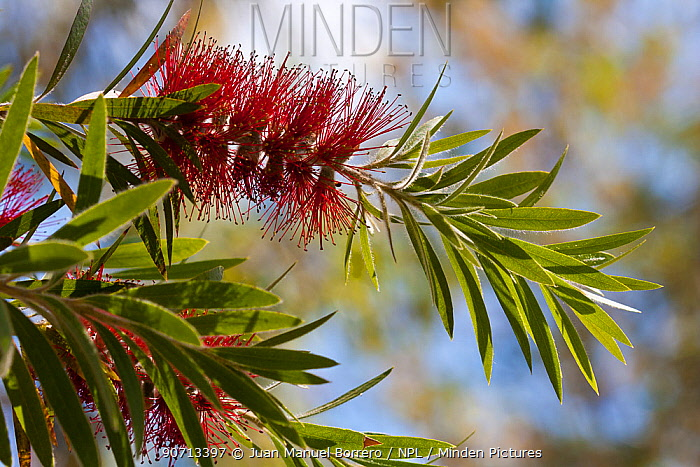 Weeping bottlebrush tree (Callistemon viminalis) cultivated plant occurs in Australia.