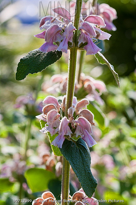 Jerusalem sage (Phlomis bovei subsp. maroccana) flowers, cultivated, occurs in Morocco.