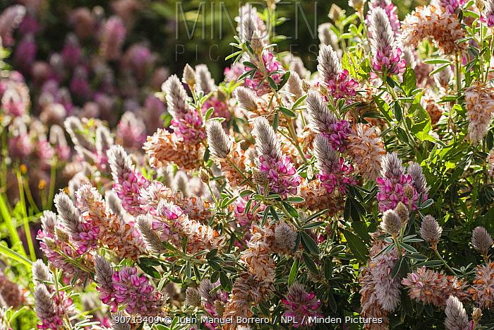 Cretan ebony (Ebenus cretica) flowers. Spain, June.