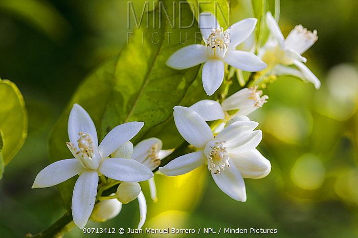 Orange (Citrus sinensis) tree flowers. Cultivated plant.