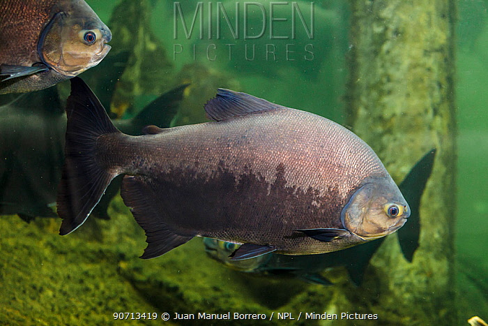 Pacu fish (Colossoma macropomum),captive occurs in South America.