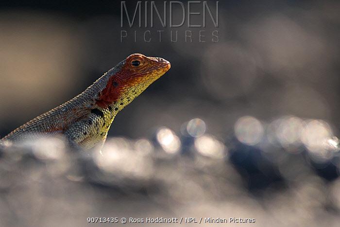 Lava lizard (Tropidurus) portait, Fernandina Island, Galapagos, Ecuador. April.
