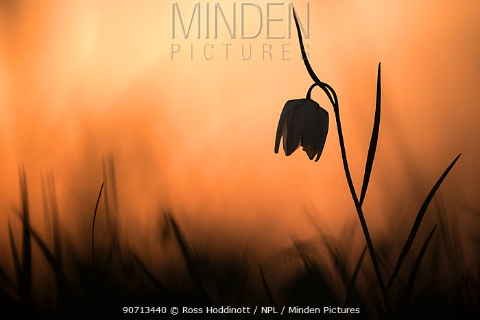 Snakes head fritillary (Fritillaria meleagris) in flower, sillouetted against the setting sun, Cricklade, Wiltshire, UK. April 2015.