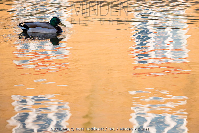 Mallard duck (Anas platyrhynchos) drake swimming through reflection of house, Bude canal, Cornwall, UK. April 2015.