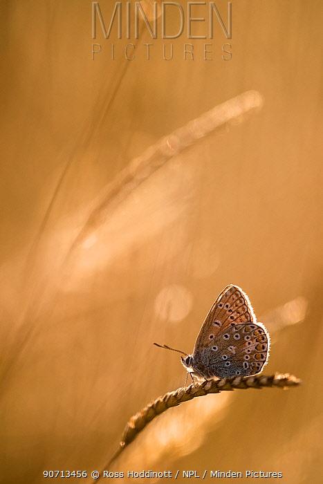 Common blue butterfly (Polyommatus icarus) resting on grassat sunset, Vealand Farm, Devon, UK. July 2014.