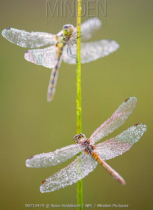 Common darter dragonflies (Sympetrum striolatum) females resting on reed, Dunsdon Nature Reserve, Devon, UK. August.