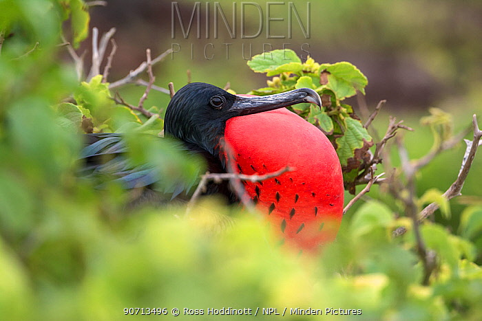 Great frigatebird (Fregata minor) male with vocal pouch inflated, Genovesa Island, Galapagos, Ecuador. May.