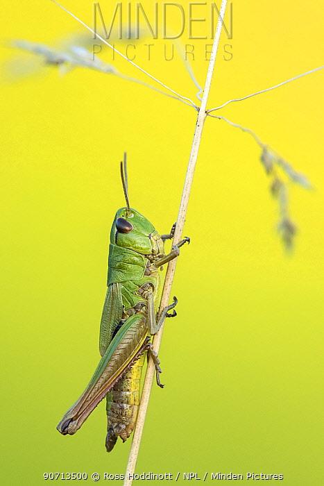 Meadow Grasshopper (Chorthippus parallelus) sub adult, Vealand farm, Devon, UK. July.