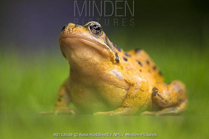 Common frog (Rana temporaria) portrait, Broxwater, Cornwall, UK. June.