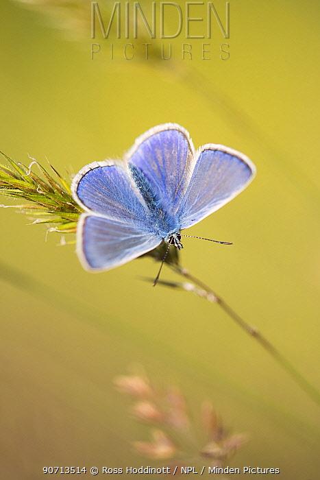 Common blue butterfly (Polyommatus icarus) male basking on grass, Vealand Farm, Holsworthy, Devon, UK. June.
