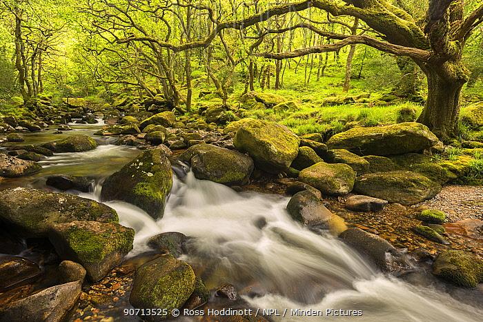 River Plym flowing fast through Dewerstone Wood, Shaugh Prior, Dartmoor National Park, Devon, England, UK. May 2015.