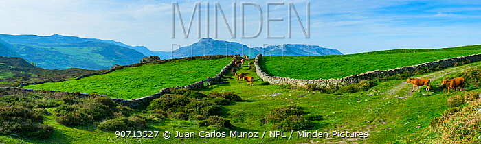 Domestic cattle in landscape with old stone walls, Collados del Ason Natural Park, Cantabria, Spain, Europe