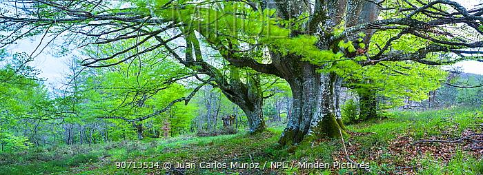 Beech tree (Fagus sylvatica), Gorbeia Natural Park, Alava, Basque Country, Spain, May 2015.
