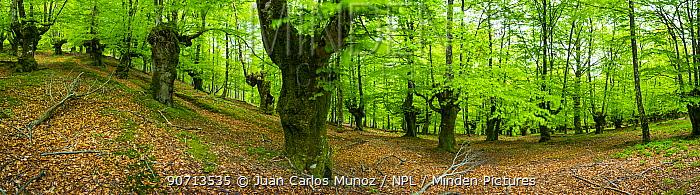 View of a Beech tree (Fagus sylvatica) forest, Aratz Aizkorri Natural Park, Spain, May 2015.