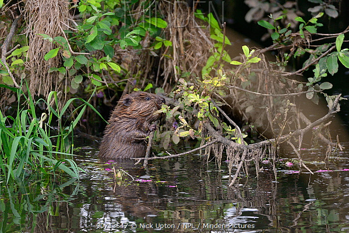 Young Eurasian beaver (Castor fiber) feeding on a willow branch overhanging the River Otter at dusk, part of a release project managed by the Devon Wildlife Trust, Devon, England, UK, August 2015.