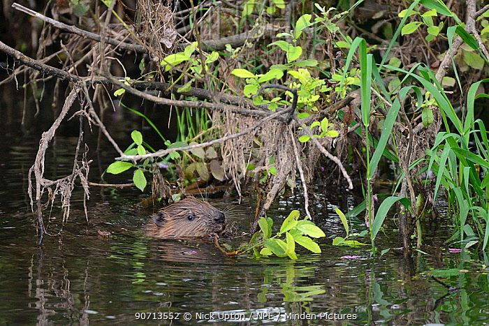 Eurasian beaver (Castor fiber) kit feeding on Willow (Salix), born in the wild on the River Otter, part of a release project managed by the Devon Wildlife Trust, Devon, England, UK, August 2015.