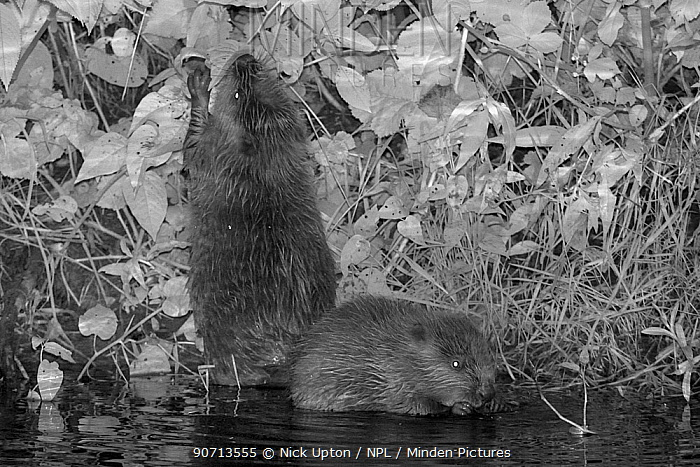 Two Eurasian beaver (Castor fiber) kits feeding at night, born in the wild on the River Otter, part of a release project managed by the Devon Wildlife Trust, Devon, England, UK, August 2015.