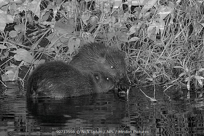 Two Eurasian beaver (Castor fiber) kits feeding on Willow (Salix) at night, born in the wild on the River Otter, part of a release project managed by the Devon Wildlife Trust, Devon, England, UK, August 2015.