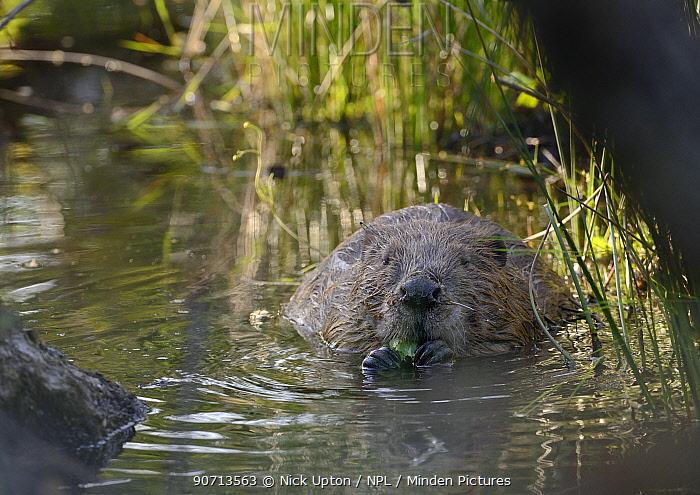 Eurasian beaver (Castor fiber) eating birch leaves in a pond, part of Devon Wildlife Trust's Devon Beaver Project, England, UK, May. Taken with a remote camera.