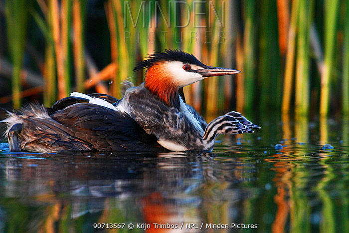 Great crested grebe (Podiceps cristatus) carrying chick on either shoulder, The Netherlands,