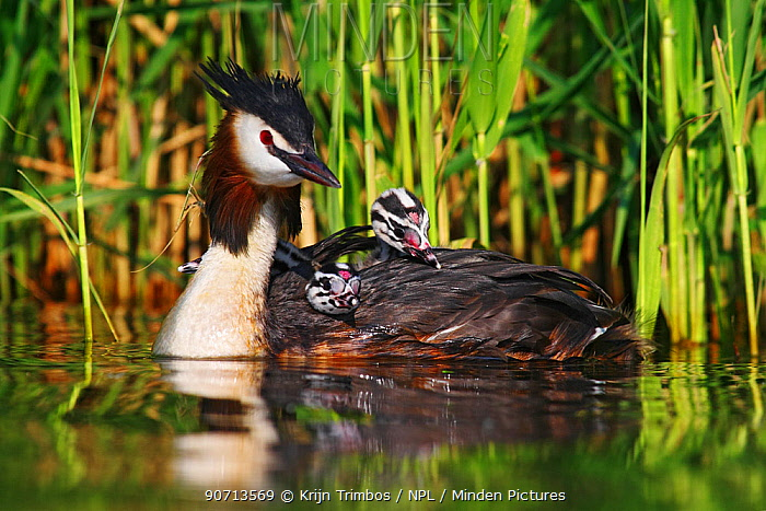 Great crested grebe (Podiceps cristatus) carrying two chicks on back, The Netherlands,