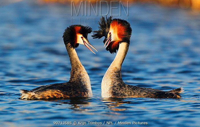 Great crested grebe (Podiceps cristatus) pair in courtship display, The Netherlands, March.