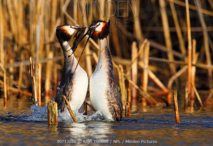 Great crested grebe (Podiceps cristatus) pair in 'weed dance' courtship display, The Netherlands, March.