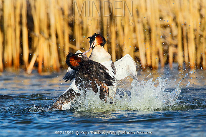 Great crested grebe (Podiceps cristatus) two in territorial fight, The Netherlands, March.