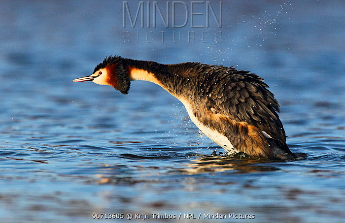 Great crested grebe (Podiceps cristatus) shaking off water, The Netherlands, March.