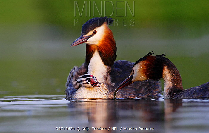 Great crested grebe (Podiceps cristatus) carrying chick on back, The Netherlands, May.